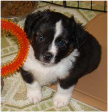 Boo Riggs Aussie Pups 2